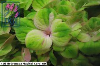 Hydrangéa Hortensia