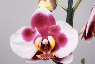 une orchid e phalaenopsis pour la f te des m res le pouvoir des fleurs. Black Bedroom Furniture Sets. Home Design Ideas