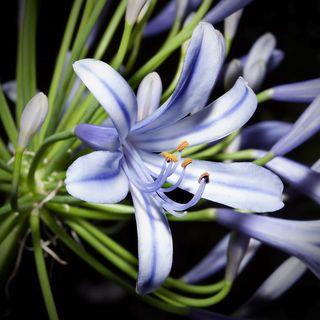 Fleur-mystere_20