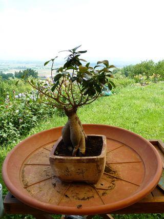 Ficus_microcarpa_rempotage_01