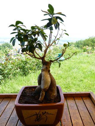 Ficus_microcarpa_rempotage_05