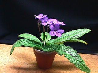 Streptocarpus_01