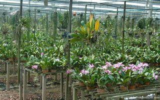 Serre-dorchidees cattleyas