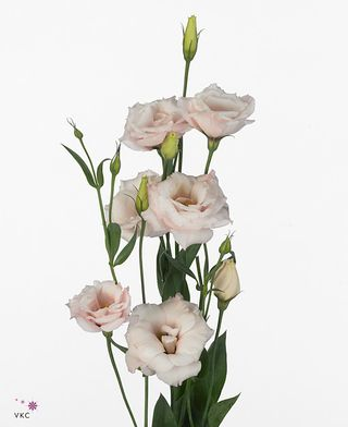 9fdb4e838a3c 3 conseils pour conserver les Lisianthus. - Le pouvoir des fleurs