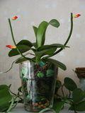 Orchidée Phalaenopsis couper la tige florale