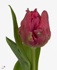 Tulip-parrot-marvel-gr