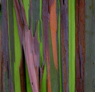 Eucalipto-arco-iris-03