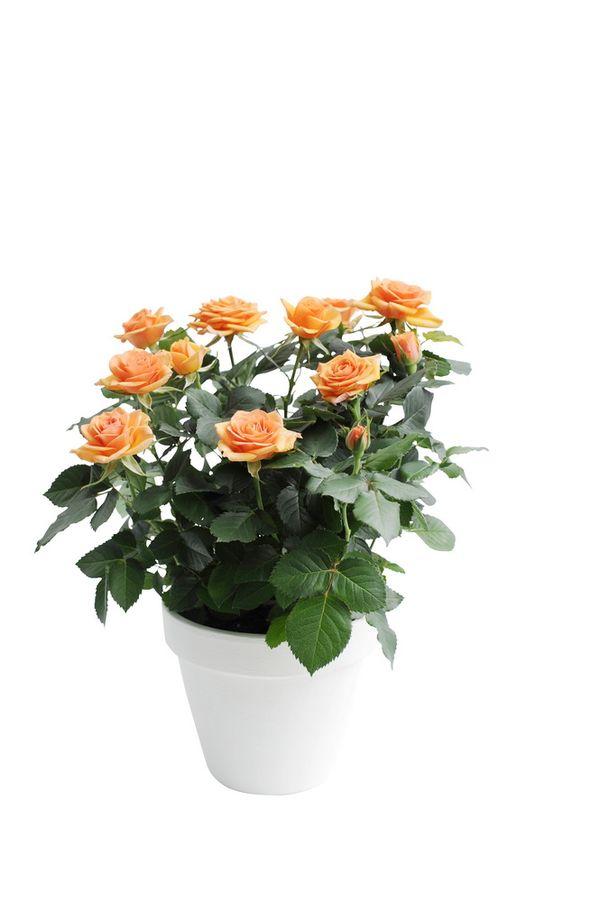 4 conseils pour votre rosier en pot le pouvoir des fleurs - Rosier en pot soleil ...