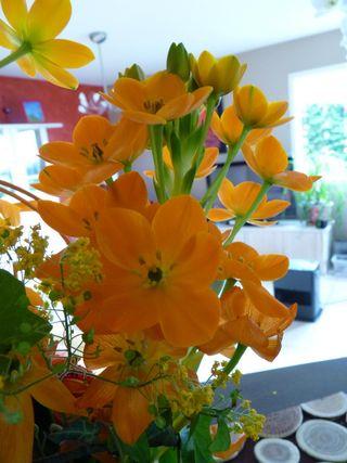 Fleur-mystere-ornithogalum-dubium