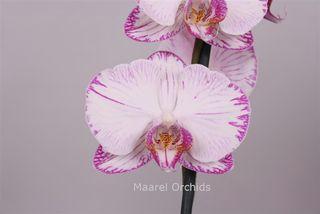 Phalaenopsis_Miracles