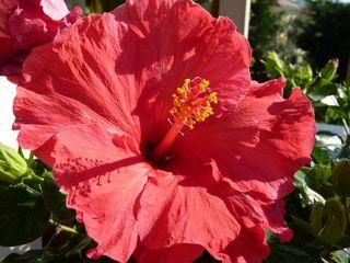 Hibiscus-fleur