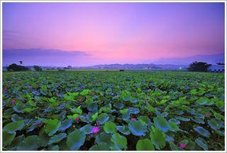 Lotus Flower Season01