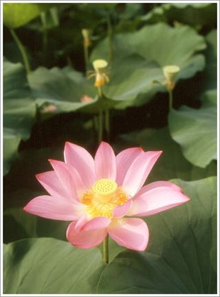 Lotus Flower Season04