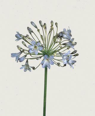 Agapanthe-bleue