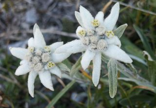 Edelweiss_02