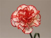 Dianthus-coralie