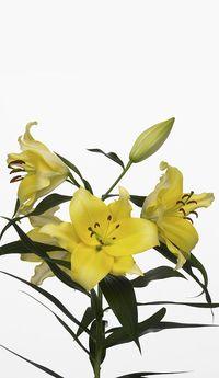 Lys-jaune
