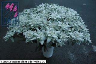 2106flowers-edelweiss_page5_image2