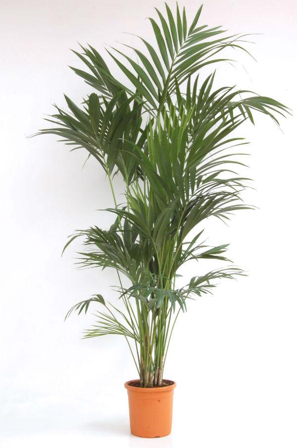 le palmier plante d 39 t le pouvoir des fleurs. Black Bedroom Furniture Sets. Home Design Ideas