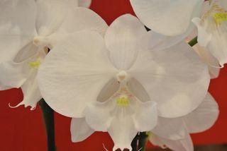 Phalaenopsis-nom
