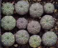 Euphorbias_02
