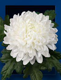 Chrysantheme-antonov