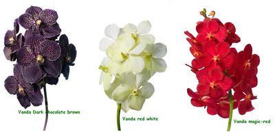Orchidées vandas