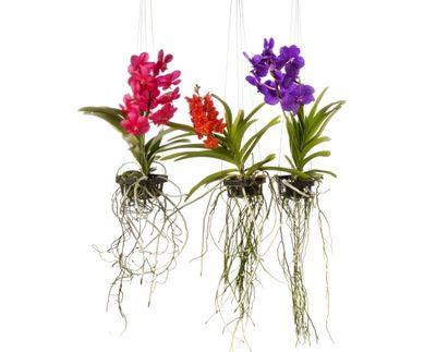 orchidee vanda avec racines