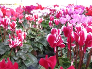 Pouvoir-des-fleurs_cyclamen