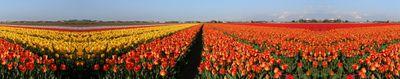 Tulipes-paysage
