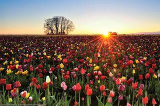 Tulipes matin