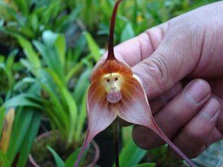 Orchidee-singe_03