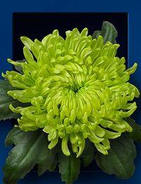 Chrysantheme-globe-green