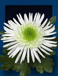 Chrysantheme-zivena