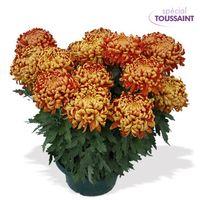 Interflora_chrysantheme_2