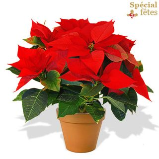 Interflora-poinsettia