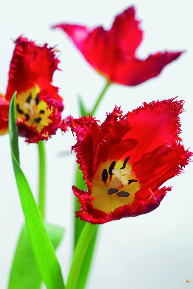 Tulipe_011