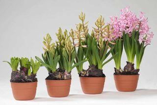 Multiflora