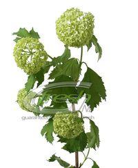 Viburnum-roseum-large