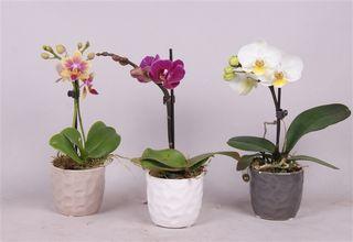 Phalaenopsis-minis