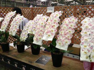 Orchidées_phalaenopsis-01