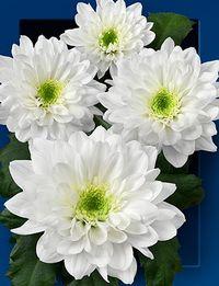 Chrysantheme-zidane