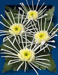 Chrysantheme-vesuvio-green
