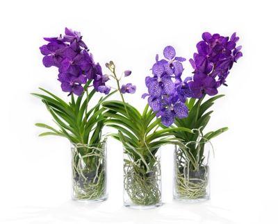 orchidee vanda jardiland