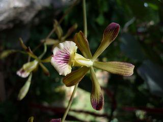 Orchidée-encyclia-navarrois