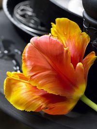Tulipe_013