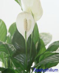 Spatiphyllum