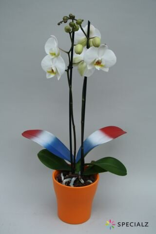 Phalaeno tricolore