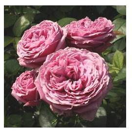 nouvelles roses coup es le pouvoir des fleurs. Black Bedroom Furniture Sets. Home Design Ideas