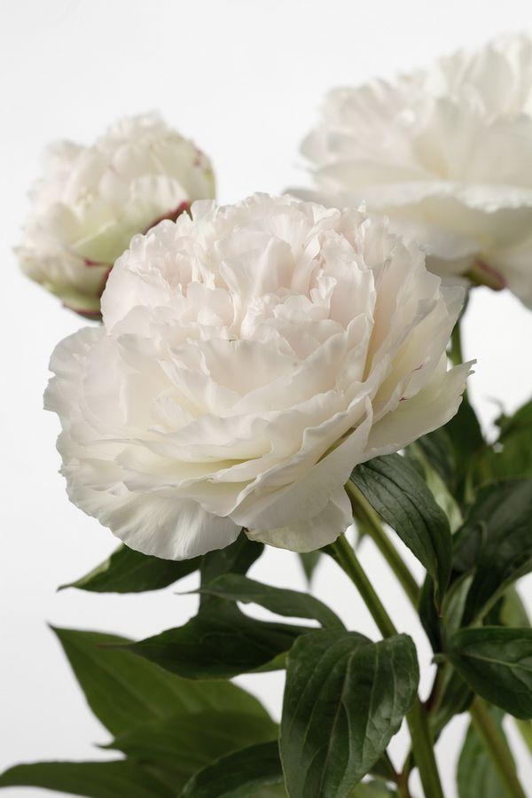 4 conseils pour conserver vos pivoines le pouvoir des fleurs. Black Bedroom Furniture Sets. Home Design Ideas
